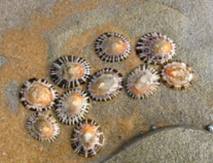 Limpets_2_2