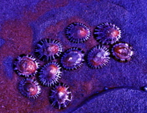 Limpets_2_2_2